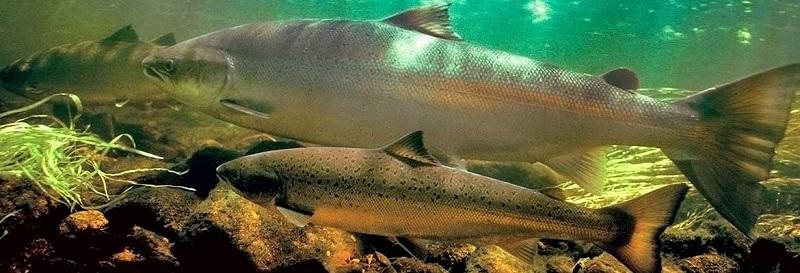 Рыбалка в Мурманской области - Сёмга